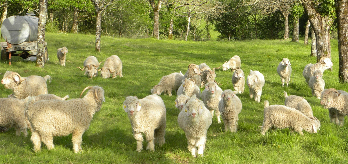 Photo de nos chèvres angora