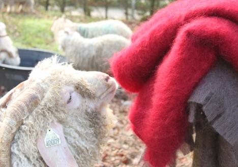 De la chèvres angora au Mohair